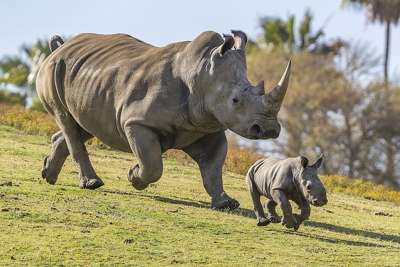 A southern white rhinoceros with her calf at San Diego Zoo Safari Park is sho...