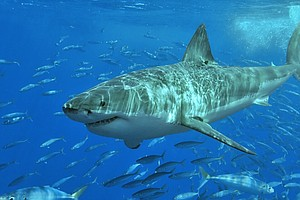 Juvenile Great White Sharks Return To San Diego For Summe...