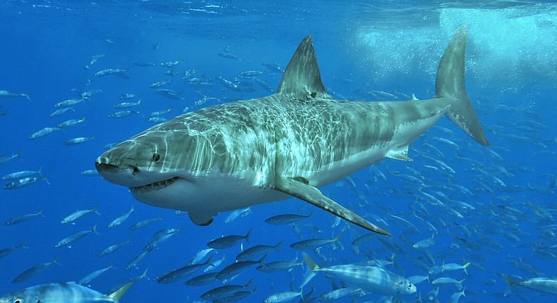 A juvenile great white shark swims near Isla Guadalupe, Mexico, August 2006.