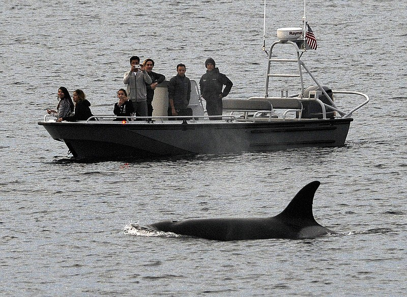Whales are seen off the coast of Long Beach, Calif., from the La Espada whale...