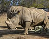 San Diego Zoo Makes First Attempt At Inseminating Southern White Rhino