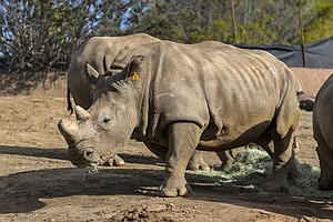 Photo for San Diego Zoo Makes First Attempt At Inseminating Southern White Rhino