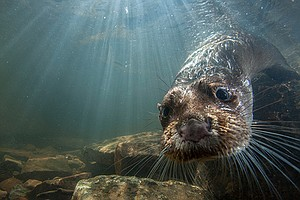 Photo for NATURE: Charlie And The Curious Otters
