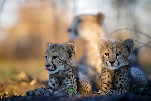 Two young cheetah cubs lie in the shade while their mother rests in the backg...