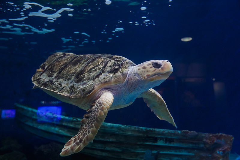 The loggerhead sea turtle swims in her tank at the Birch Aquarium in this und...