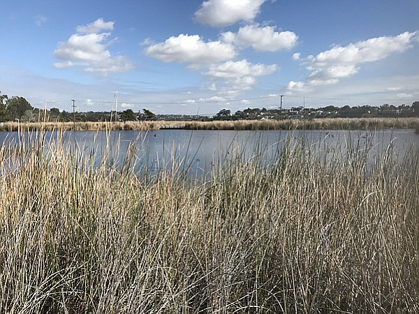 Cattails obscure the Buena Vista Lagoon in San Diego's North County on Jan. 2...