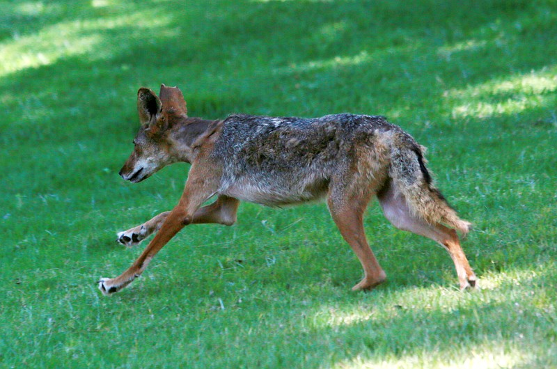 A rehabilitated coyote is released into the wild in Ramona, June 22, 2018.