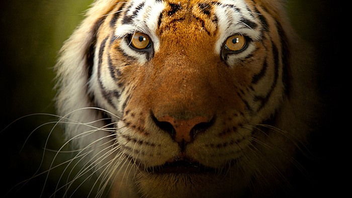 Tigers (Panthera tigris) are the biggest of all the cats - from the giant Sib...