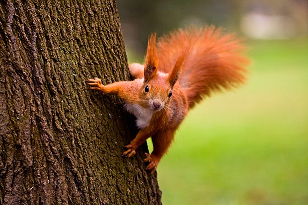 A flexible ankle joint allows squirrels to run headfirst down trees.