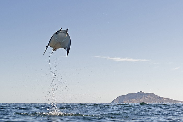 Mobula Munkiana in Cabo Pulmo National Marine Park, east coast of Mexico's Ba...