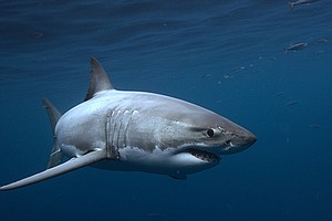 Photo for Great White Shark: New Perspectives On An Ancient Predator