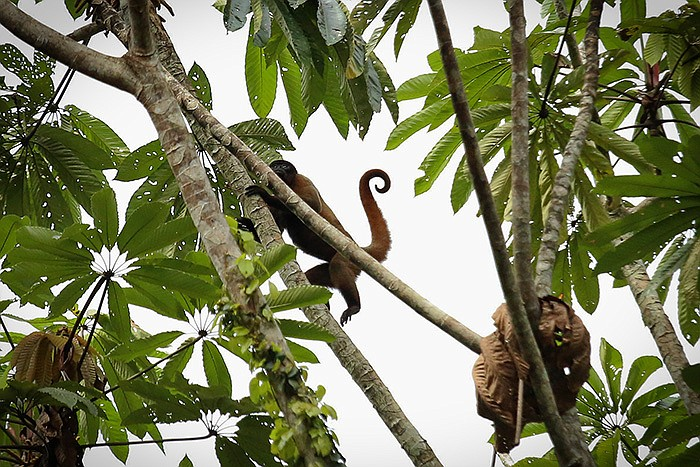 A Woolly monkey keeping watch from the safety of a high tree. Yasuni Biospher...