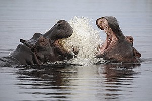 Photo for NATURE: Hippos: Africa's River Giants