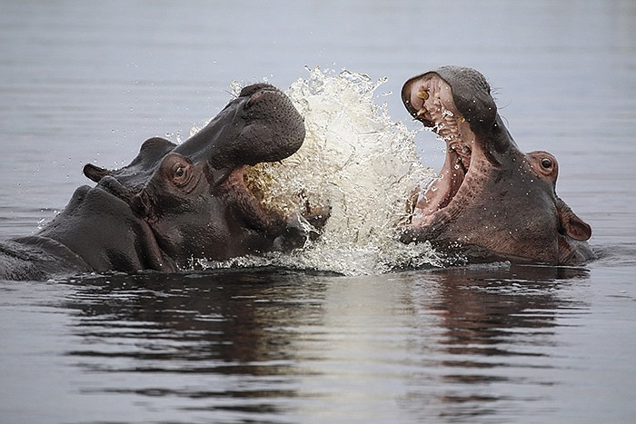 An adult hippo play-fights with a juvenile, teaching the younger hippo to def...