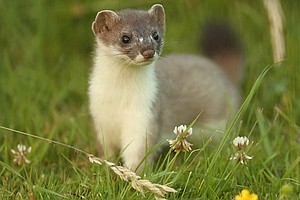 Photo for NATURE: The Mighty Weasel