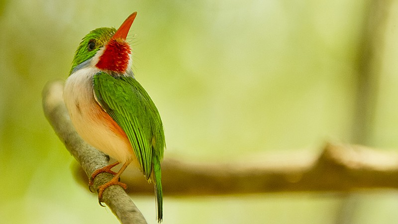 Cuban tody perched on a branch. Zapata, Cuba.