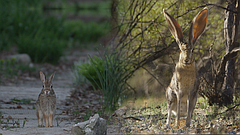 NATURE: Remarkable Rabbits