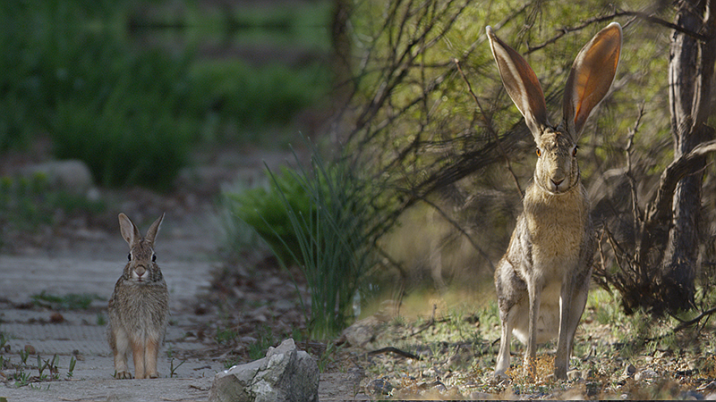 Split screen comparison to show the difference in size between rabbits and ha...
