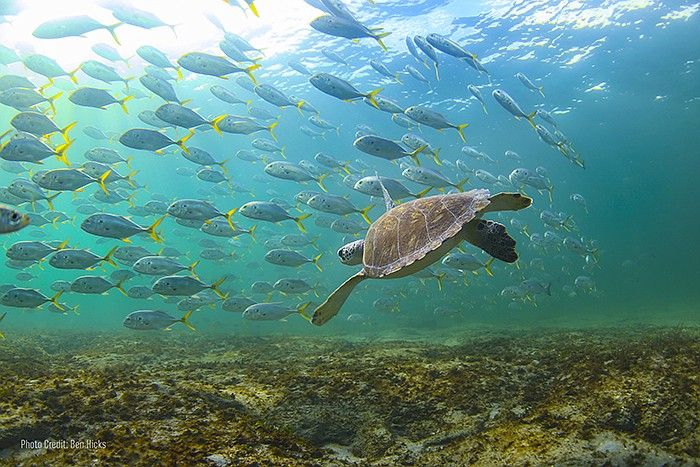 Shown: Sea turtle and fish. Warming seas and sand temperatures impact the gen...