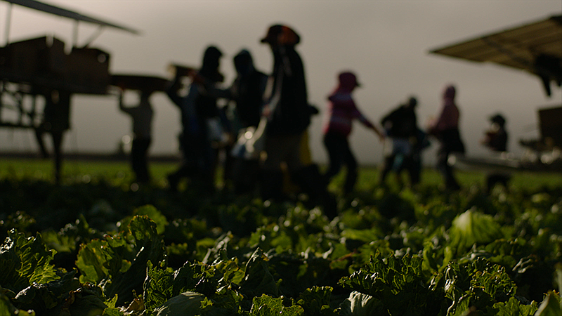 Workers at the Field Fresh Farms in Gonzales, Calif. (undated photo)