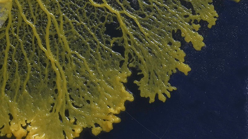 Slime mold. Who says you need brains to be smart? Extremely primitive life-fo...