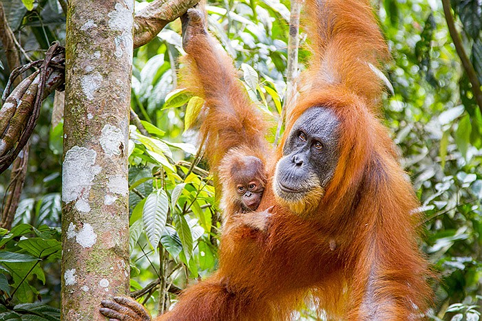 Orangutan (<em>Pongo abelii</em>) infants are highly dependent on their mothe...