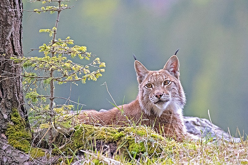 The lynx is an elusive hunter and a rare sight in the Alps.