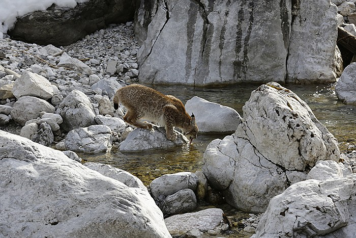 Europe's biggest cat, the Eurasian lynx, is an elusive and solitary hunter.
