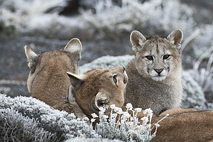 Photo for NATURE: Pumas: Legends Of The Ice Mountains