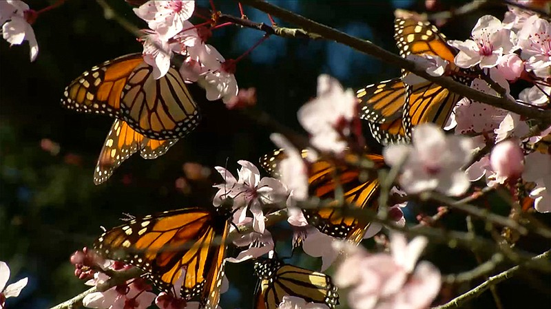 Several butterflies in a cherry blossom tree.