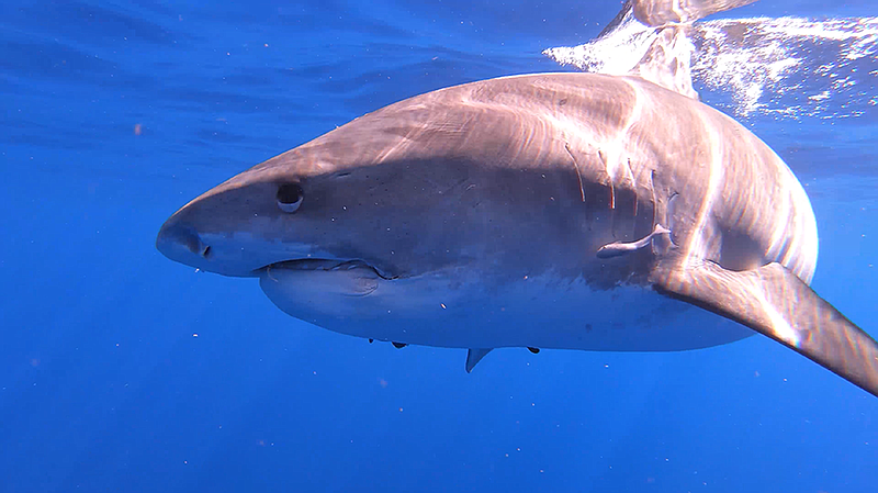 Learn surprising facts about the sharks that call the warm waters near Hawaii...