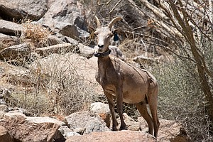 Photo for Annual Bighorn Sheep Count In Anza-Borrego Canceled, Ending 50-Year Tradition