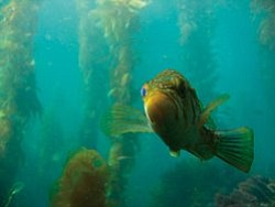 Photo of fish swimming through kelp. Photo courtesy of Birch Aquarium at at Scripps Institution of Oceanography, UC San Diego.