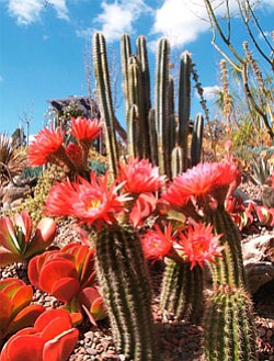 Photo of a flowering cactus. One of the Garden's newest exhibits, the cactus and succulent garden showcases the stunning year-round beauty of these plants. The Water Conservation Garden has nearly five acres of displays that showcase water conservation through a series of beautiful themed gardens.