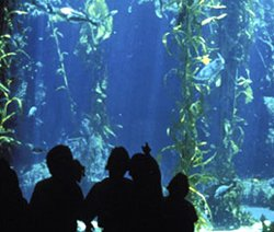 Image of the Kelp Forest Tank at Birch Aquarium at Scripps.