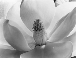"Photo of a magnolia blossom by Imogen Cunningham. The Oceanside Museum of Art is hosting a new exhibit, ""Botanicals: The Photography of Imogen Cunningham,"" on display from January 9 - May 22, 2011."