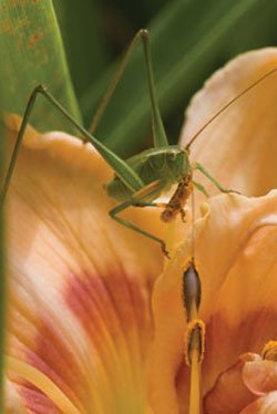 Promotional photo of a grasshopper. The Insect Festival takes place on July 9 & 10, 2011, at the San Diego Botanic Garden, located at 230 Quail Gardens Drive. Photo credit: Rachel Cobb