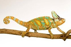 Photo of a veiled chameleon. Native to the southwestern A...