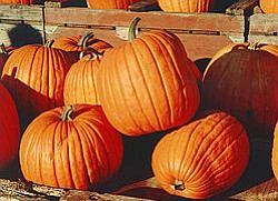Promotional photo of the u-pick pumpkin patch at Julian Mining Company. Courtesy of Julian Mining Company