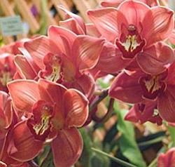 Promotional image of orchids. Image provided by San Diego County Orchid Society.
