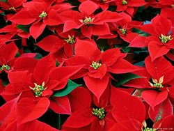 Promotional image of Poinsettias.