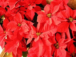 Promotional image of poinsettias at First United Methodis...