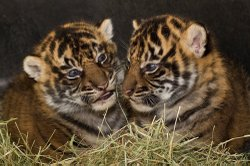 Two baby Sumatran tigers. Courtesy of San Diego Zoo Safari Park