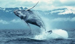 "Promotional photo from the IMAX® film ""WHALES."" Meet blue, orca, and sperm whales and follow humpbacks as they travel thousands of miles from the krill blooms off the frigid coast of Alaska to give birth in the warm waters of Hawaii; featuring spectacular underwater footage of Earth's largest inhabitants."