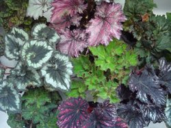 A cluster of Begonias. Courtesy of American Begonia Society.