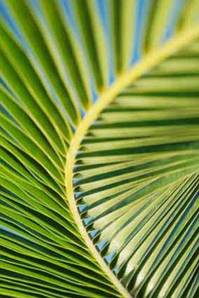 Promotional image of a Palm for Palm Sunday.