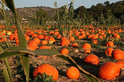 The Pumpkin Patch at Bates Nut Farm. Photo courtesy of Bates Nut Farm