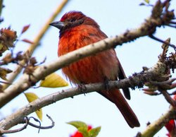 Image of a Hepatic Tanager taken by BJ Stacey on March 1 in Imperial Beach. It was taken during the San Diego Bird Festival on the Birding 100 trip.
