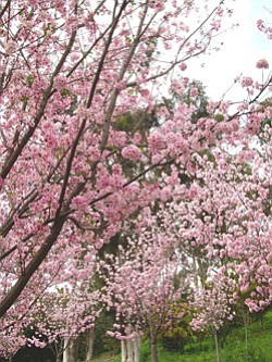 Promotional image of pink cherry blossoms at the Japanese Friendship Garden.