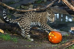 Promotional image of a jaguar playing with a pumpkin. Courtesy image of San Diego Zoo.